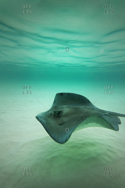 Stingray swimming in shallow water.
