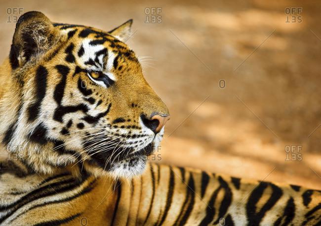 Tiger lying down.