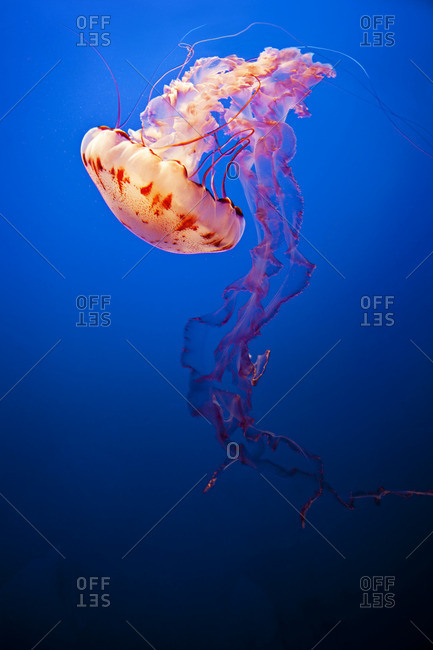 Brightly coloured jellyfish swimming - Offset