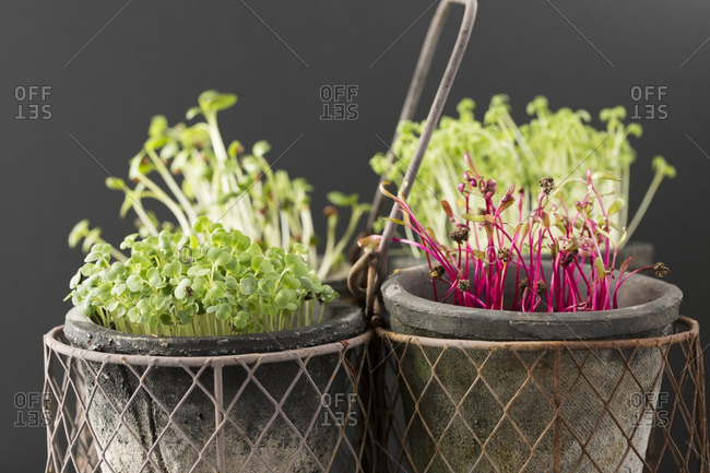 Cress, beet, radish and rocket microgreens