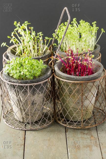 Cress, beet, radish and rocket microgreens on a wooden table