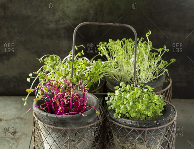 Cress, beet, radish and rocket microgreens in a wire basket