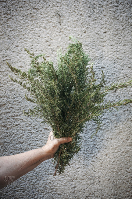 Female hand holding a large bunch of fresh rosemary