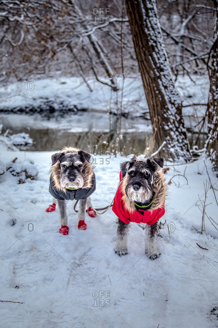 two miniature schnauzers in the snow by the river wearing coats