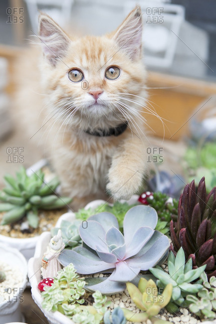 A yellow kitten with potted cacti and succulents