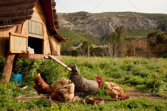 Chickens and hen house in farmyard