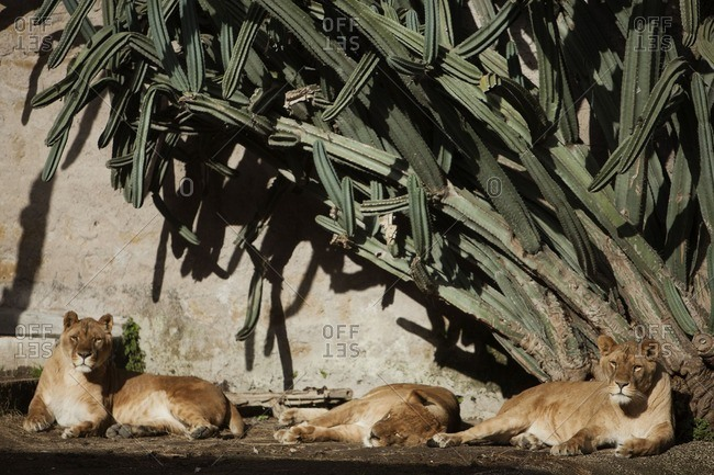 Lionesses at the zoo