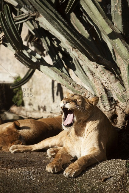 A yawning lioness in zoo