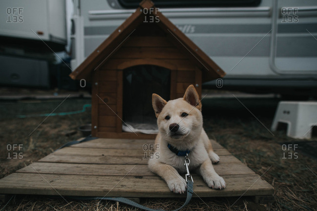 Portrait of an Akita puppy on a leash outside a circus trailer
