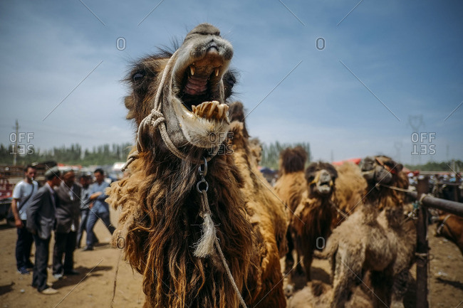 Camel with its mouth wide open at the Sunday Animal Market in Kashgar, China