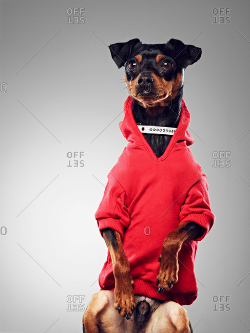 Dog wearing hooded sweatshirt - Offset