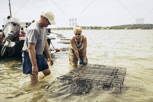 People setting oyster cages