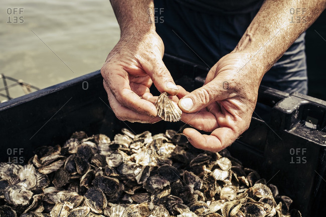 Hand digging through harvested oysters