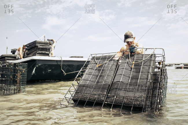 Man placing oyster cages