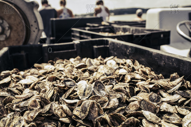 Oyster harvest at a farm