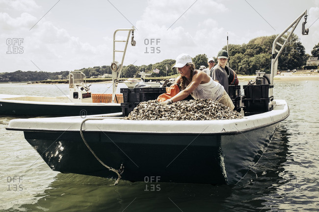 Harvesting oysters at farm