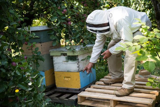 Beekeeper examining beehive box