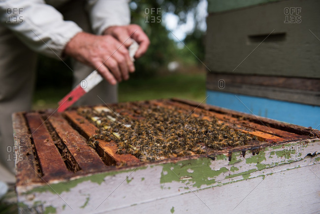 Beekeeper removing honeycomb from beehive in apiary garden