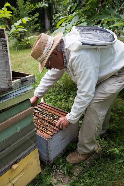 Beekeeper removing honey frame from beehive
