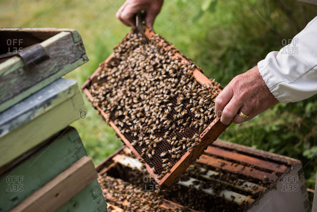 Beekeeper removing a wooden frame from beehive