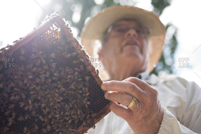 Beekeeper holding a honey comb with bees