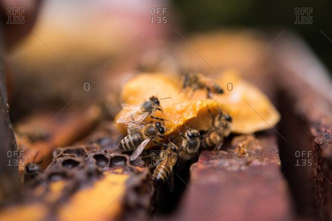 Close-up of honeybees on honey wax