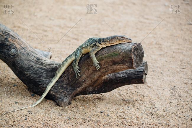 Water monitor lizard laying on a small log