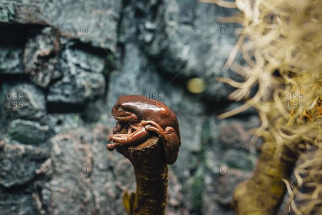Close-up of a dumpy tree frog (Litoria caerulea)