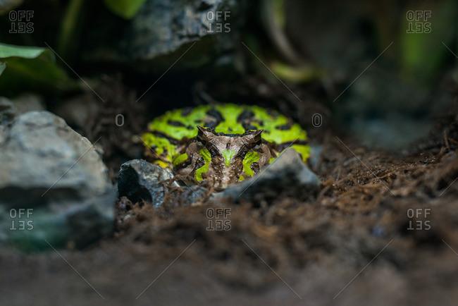 Fantasy horned frog (Ceratophrys cornuta)