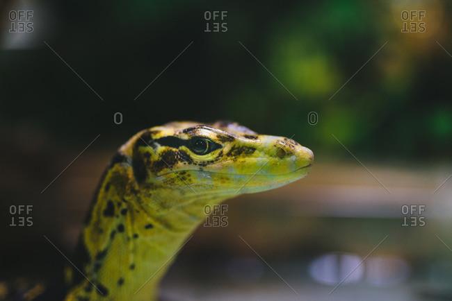 Close up of a yellow-headed water monitor (Varanus salvator), the world's second-heaviest lizard