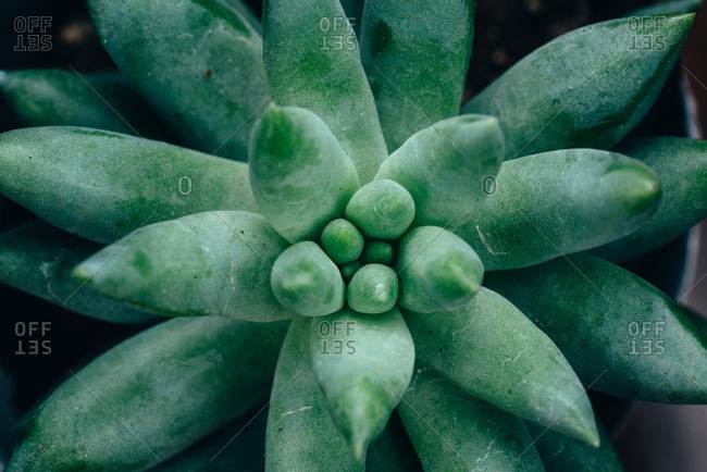 Overhead view of a succulent plant