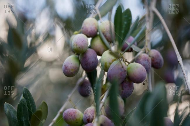 Olives on tree