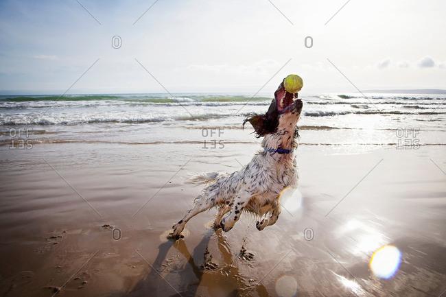 Dog catching tennis ball on beach