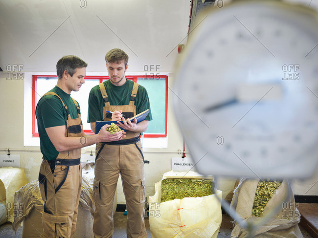 Workers select hops in brewery