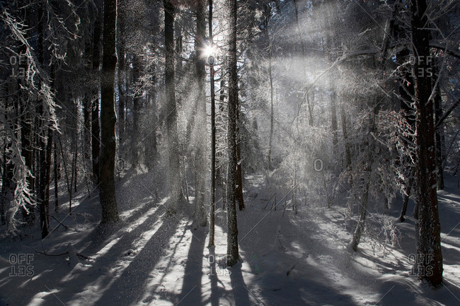 Sunlight streaming through winter forest