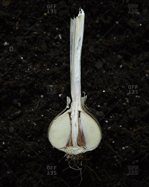 A single white onion cross section