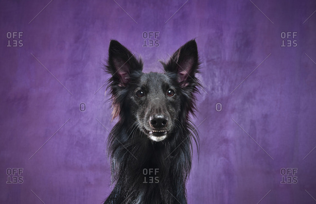 Portrait of a black dog against a purple background