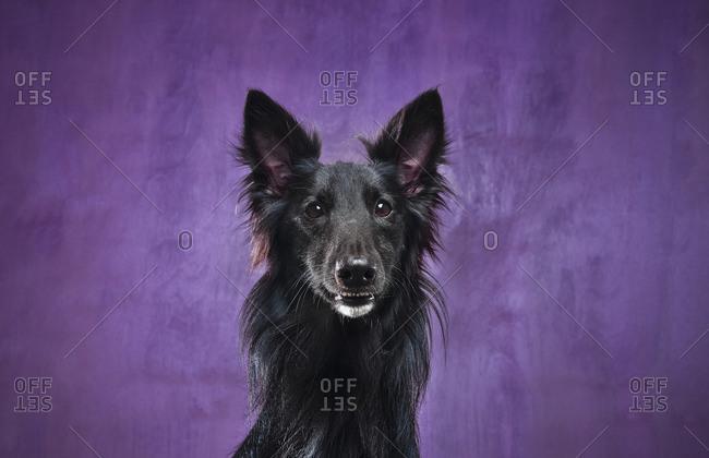 Portrait of a black dog against a purple background