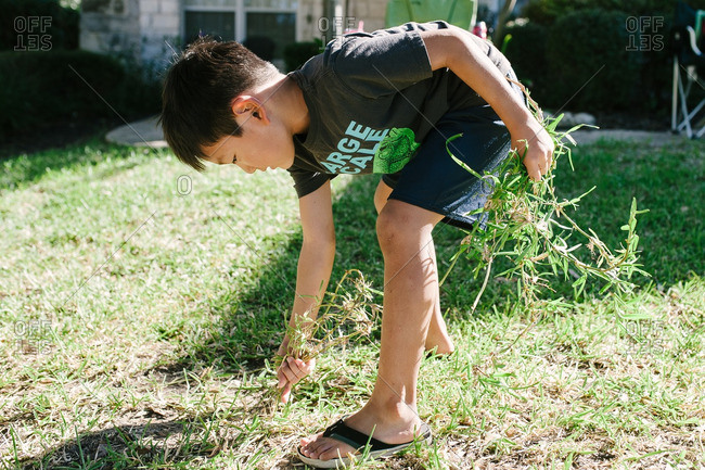 Boy pulling weeds from lawn