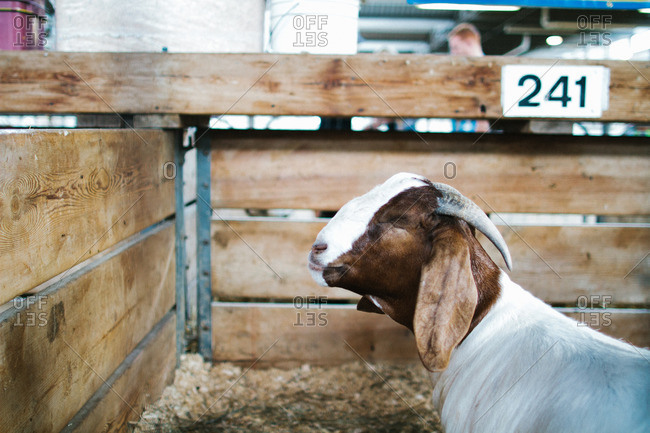 Goat in numbered pen at state fair