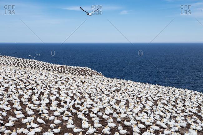 Gannet colony on Bonaventure Island next to the ocean