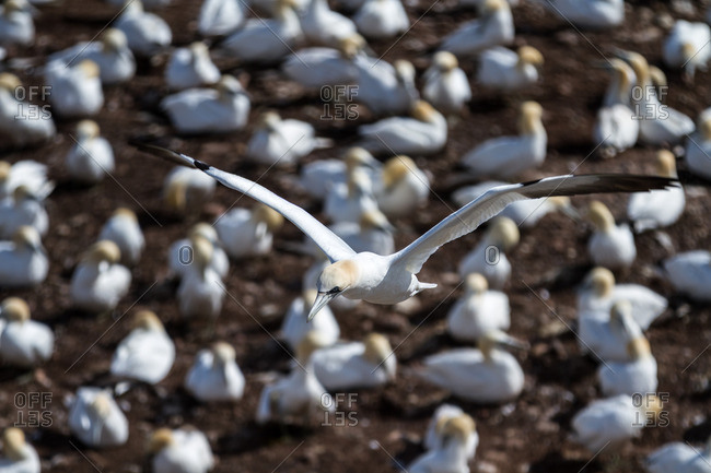 A gannet bird flying over a colony of birds next to the ocean
