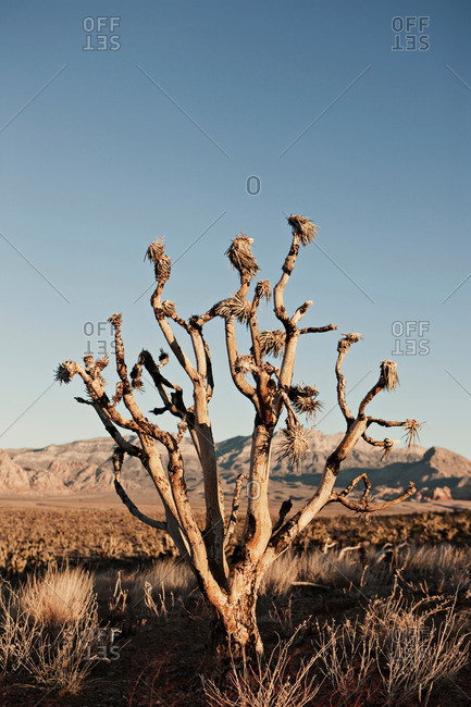 Bare tree in desert