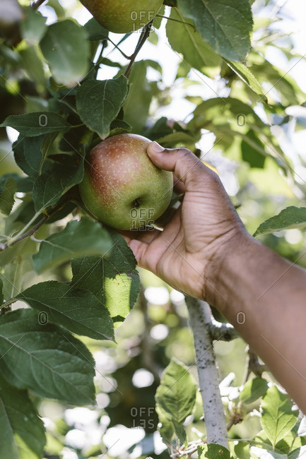 A man is photographed as he is picking a Fuji apple from the tree.