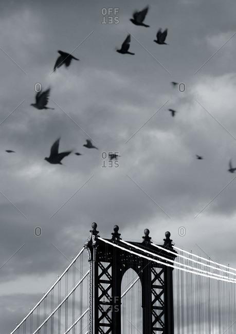 Crows flying above the Manhattan bridge