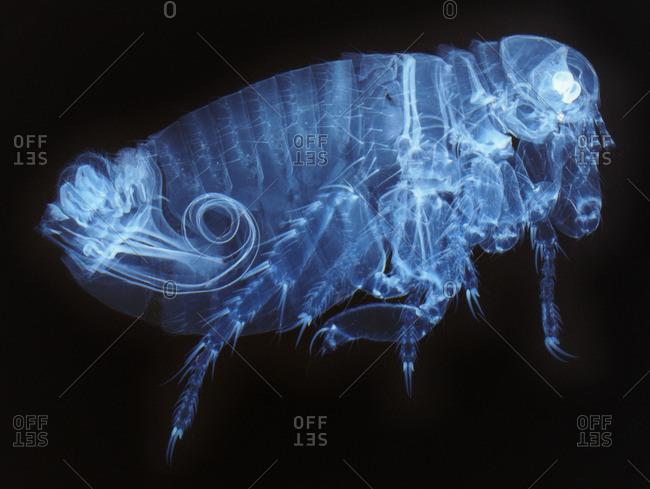 Light micrograph of a male human flea