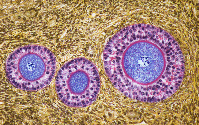 Light micrograph of a section through late primary follicles in an ovary