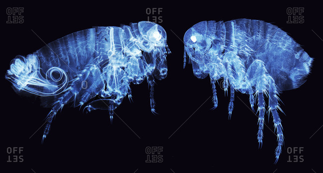 Light micrograph of a male (left) and female human flea (Pulex irratans)