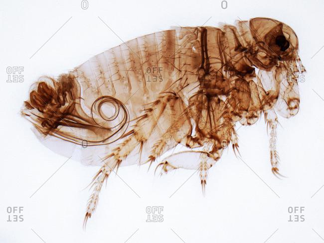 Light micrograph of a male human flea (Pulex irratans
