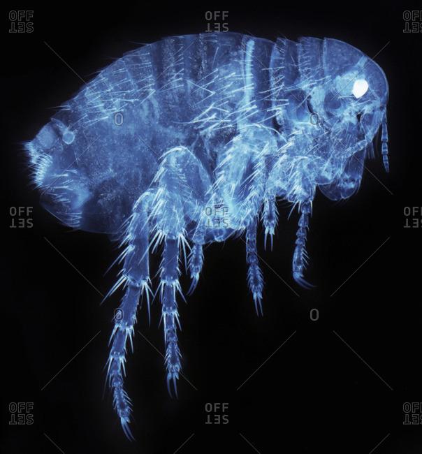 Light micrograph of a female human flea (Pulex irratans)
